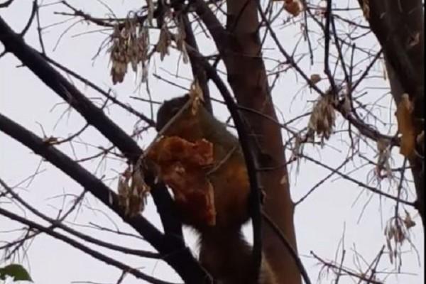 Απίστευτο βίντεο: Σκίουρος «πιάστηκε στα πράσα» με ένα κομμάτι πίτσα