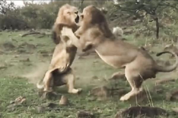 Απίστευτο βίντεο: Επική μάχη για τα μάτια μιας λιονταρίνας!