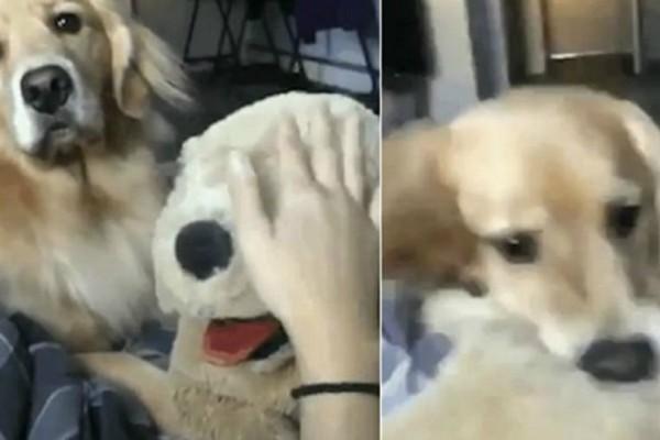 Η πιο απολαυστική αντίδραση ζηλιάρας σκυλίτσας που έχετε δει ποτέ (video)