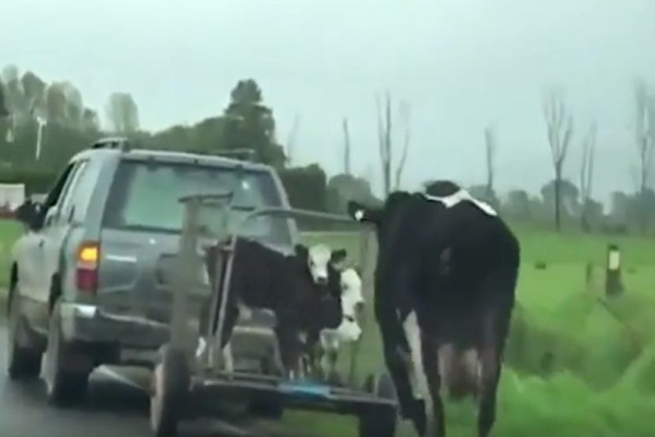Σπαρακτικό βίντεο: Αγελάδα κυνηγάει βανάκι που μεταφέρει τα μοσχαράκια της!