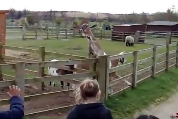 Απίστευτο βίντεο: Κατσίκα χαιρετά μικρούς μαθητές κουνώντας… το πόδι της!