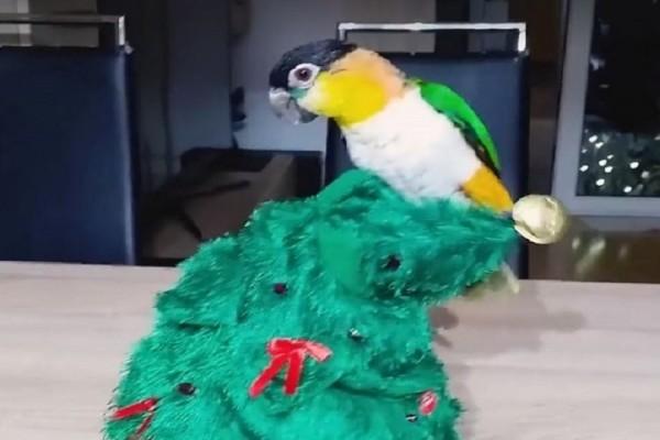Ξεκαρδιστικό βίντεο: Ο απίστευτο παπαγάλος που τα «βάζει» με ένα χριστουγεννιάτικο δέντρο!