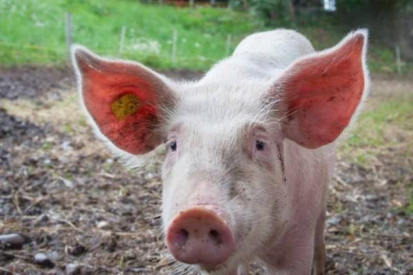 Γουρούνι τα βάζει με όλους για να σώσει τον «φίλο» από τη σφαγή (video)