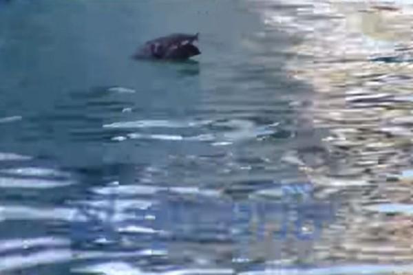 Θεοφάνεια 2018: Τραγελαφικό στιγμιότυπο στην Καλαμάτα! - Πέταξαν στο νερό... νεκρό περιστέρι! (Video)