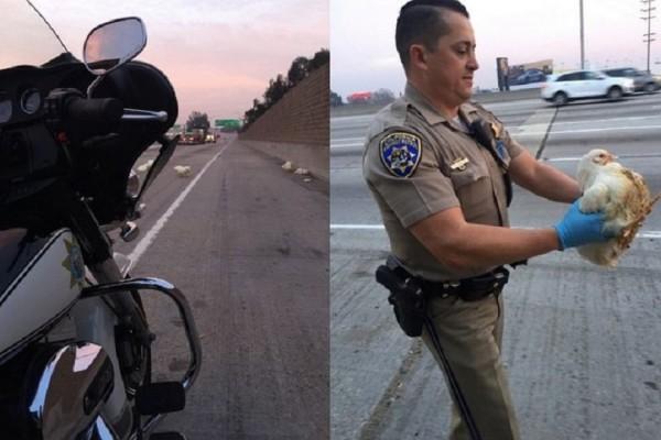 Απίστευτο βίντεο: 20 κότες έκαναν μπάχαλο αυτοκινητόδρομο στο Λος Άντζελες
