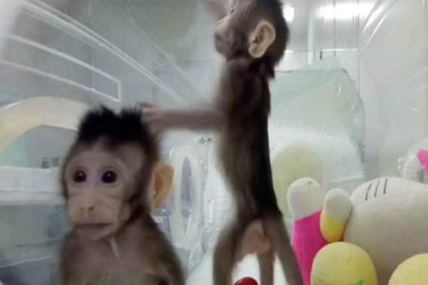 Απίστευτο: Κλωνοποίησαν για πρώτη φορά μαϊμούδες - Μήπως έρχεται και η σειρά των ανθρώπων; (video)