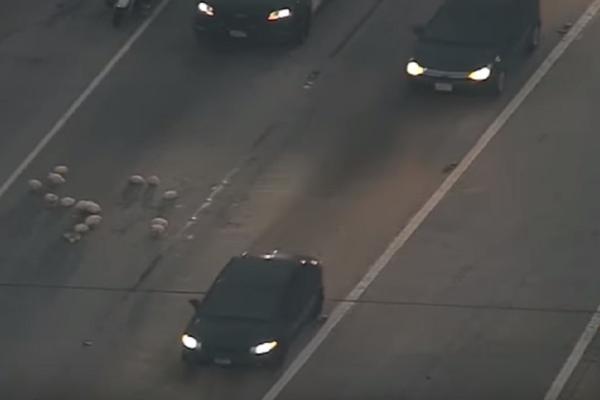 Πανικός! 20 κότες προκάλεσαν... κυκλοφοριακή ασφυξία σε αυτοκινητόδρομο! (video)