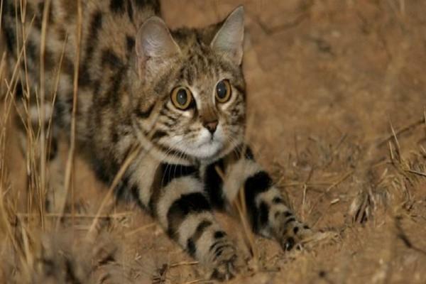 Σου φαίνεται χαριτωμένη η γάτα της φωτογραφίας; - Κι όμως είναι από τις πιο επικίνδυνες του πλανήτη! (Video)