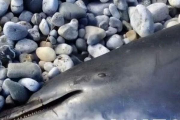 Νεκρό δελφίνι ξεβράστηκε σε παραλία της Κρήτης! Τι συμβαίνει;