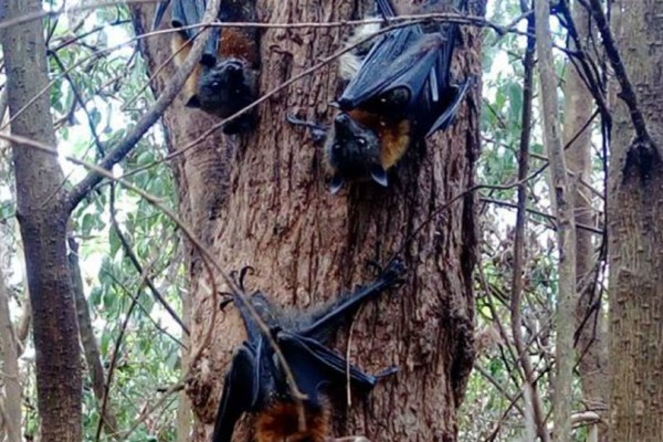 Εκατοντάδες νυχτερίδες νεκρές λόγω καύσωνα στην Αυστραλία!
