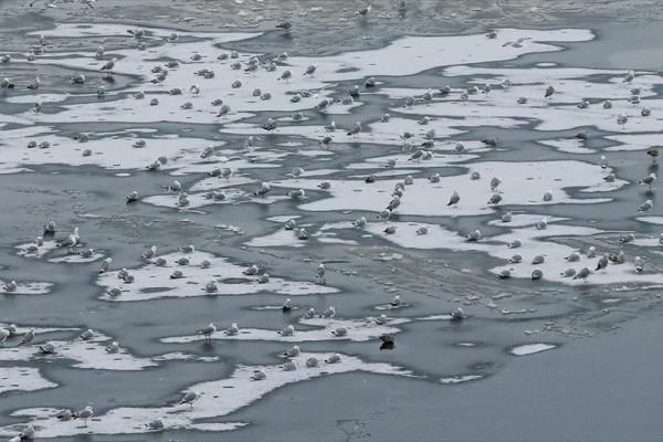 Η φωτογραφία της ημέρας: Γλάροι στέκονται στον παγωμένο ποταμό Dnipro στο Κίεβο!