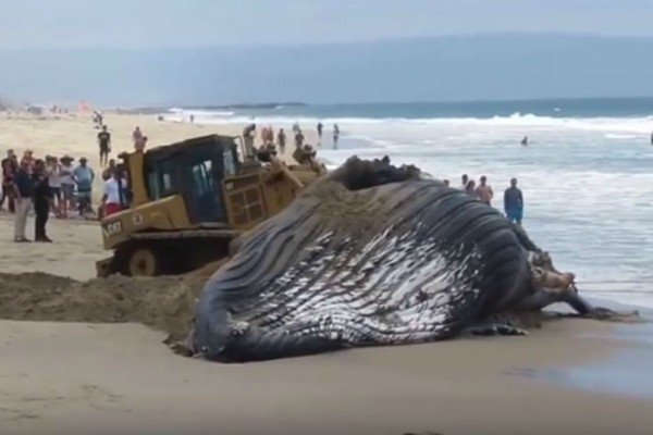 Η μεγαλύτερη φάλαινα στον κόσμο ξεβράστηκε σε ακτή της Νότιας Αφρικής!
