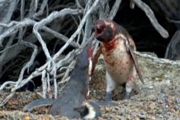Πιγκουίνος γυρίζει σπίτι και πιάνει την γυναίκα του με άλλον: Το ξύλο που ακολούθησε ούτε που το φαντάζεσαι! (video)