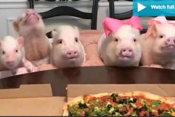 Ξεκαρδιστικό βίντεο: Γουρουνάκια τρώνε πίτσα... σαν άνθρωποι!