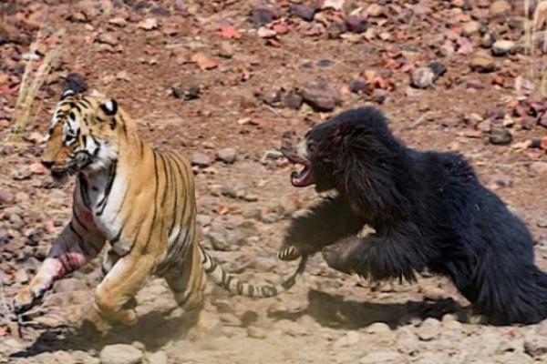 Στην άγρια φύση: Σοκαριστική μονομαχία τίγρης με αρκούδα! (video)