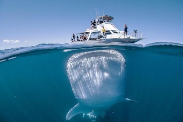 Άκρως εντυπωσιακό: Αυτό είναι το μεγαλύτερο ψάρι στον κόσμο! (Video)