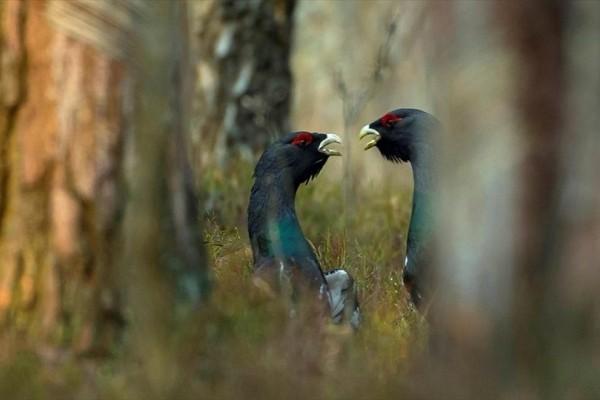 Η φωτογραφία της ημέρας: Δύο αγριόκουρκοι σε δάσος στη Λευκορωσία!