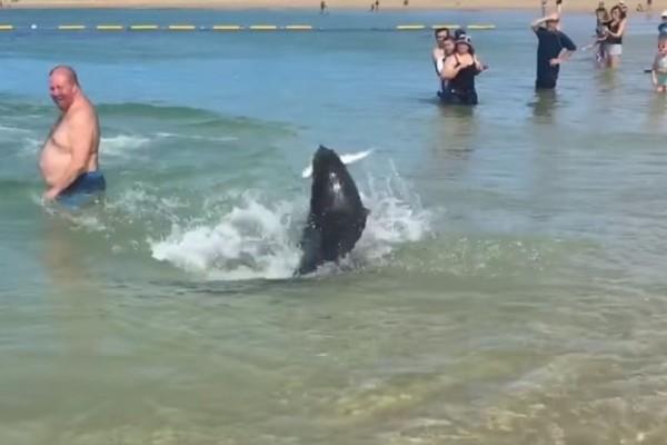 Απίστευτο βίντεο: Φώκια κυνηγά γλώσσα σε παραλία ανάμεσα στους λουόμενους!