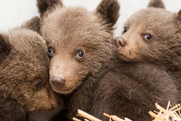 Η φωτογραφία της ημέρας: Τρία μικρά ορφανά αρκουδάκια μεταφέρονται στο πάρκο της Μπελίτσα της Βουλγαρίας!