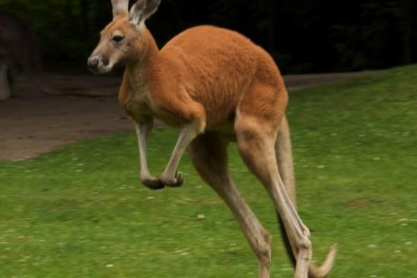 Απαράδεκτοι: Λιθοβόλησαν μέχρι θανάτου καγκουρό σε ζωολογικό κήπο για να το κάνουν να πηδήξει!