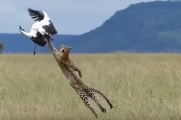 Εντυπωσιακό: Πελαργός γλιτώνει από βέβαιο θάνατο από πεινασμένη λεοπάρδαλη! (Video)