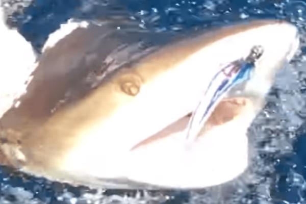 Απίστευτο: Μεγάλος καρχαρίας κατασπάραξε μικρότερο καρχαριάκι! (Video)