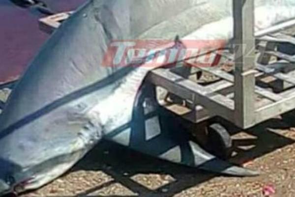 Απίστευτες φωτογραφίες: Επιασαν καρχαρία «αλεπού» 200 κιλών στον Πατραϊκό!