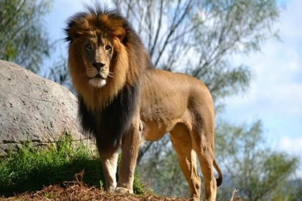 Βίντεο σοκ: Λιοντάρι επιτίθεται στον ιδιοκτήτη του πάρκου!