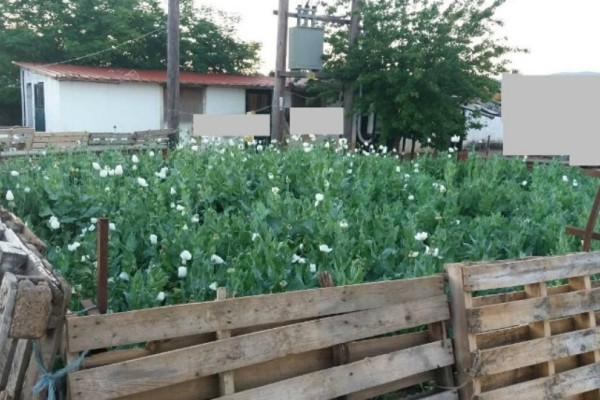 Βοιωτία: Αυτή είναι η φυτεία με το όπιο που καλλιεργούσαν Ινδοί!