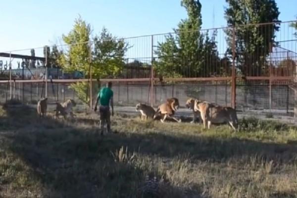 Ο θηριοδαμαστής που έγινε viral! - Πήρε την... παντόφλα στο χέρι και τα έβαλε με λιοντάρια! (Video)