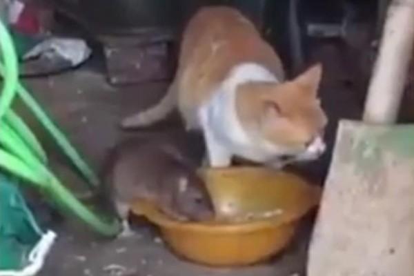 Επικό βίντεο: Το ποντίκι που βάζει... στην θέση της μία γάτα!