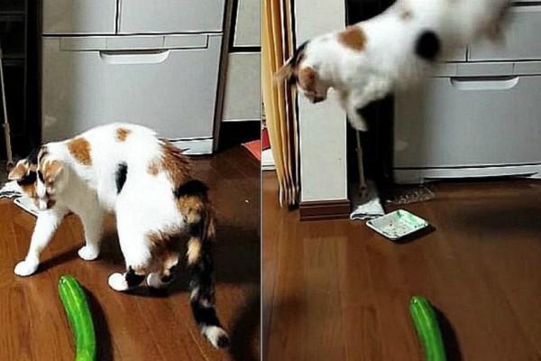 Γιατί οι γάτες φοβούνται τα … αγγούρια; (video)