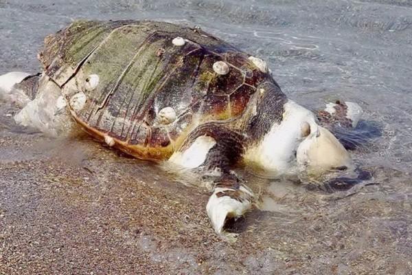 Λακωνία: Εντοπίστηκε νεκρή χελώνα καρέτα-καρέτα!