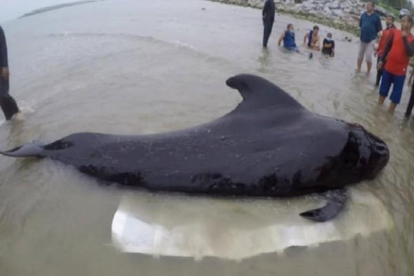 Ταϊλάνδη: Φάλαινα κατάπιε 80 πλαστικές σακούλες και πέθανε (photos)