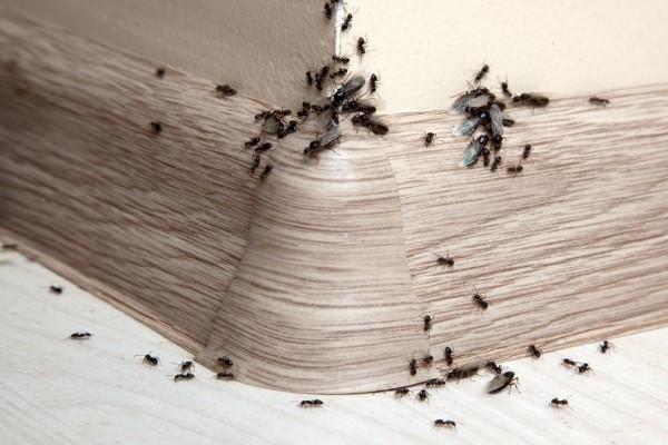 Ένα εύκολο κόλπο για να κρατήσετε μακριά από το σπίτι σας τα μυρμήγκια!