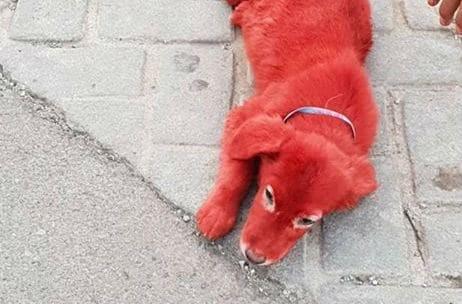Τραγικό περιστατικό στη Χαλκίδα: Έβαψαν με κόκκινη βαφή μαλλιών ένα σκυλάκι και το παράτησαν στο δρόμο (photos)