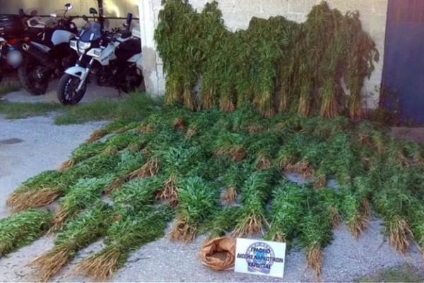 Πανικός με τη «γκάφα» της ΕΛΑΣ στην Καρδίτσα: Αποζημίωση ζητούν οι καλλιεργητές της κλωστικής κάνναβης (video)