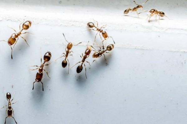 Απίστευτο βίντεο: Μυρμήγκια έφτιαξαν γέφυρα για να επιτεθούν σε σφήκες!