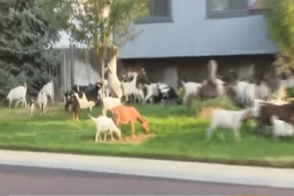 Επικό: Κοπάδι από κατσίκες έκανε... βόλτα σε γειτονιά! (Video)