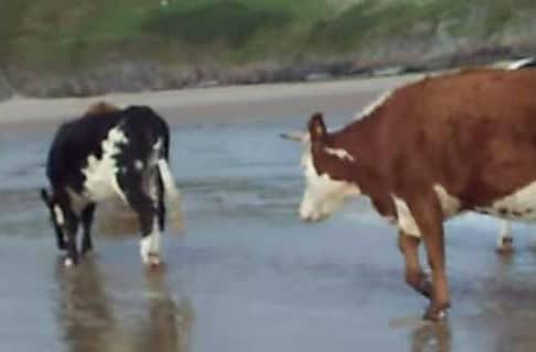 Οι αγελάδες μπορούν να κάνουν βουτιές σε παραλία γυμνιστών και με τον... νόμο!