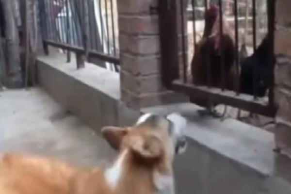 Κότες έκαναν το σκύλο να βάλει τα κλάματα! (video)
