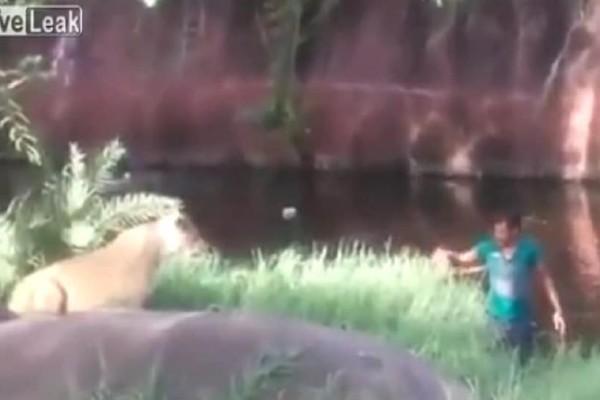 Λιοντάρια αρνούνται να φάνε μεθυσμένο που τα πλησιάζει! (video)