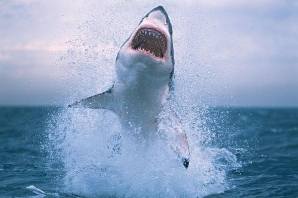 Απίστευτο: Λευκός καρχαρίας της Μεσογείου πιάστηκε στο Αιγαίο!