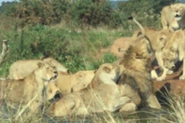 Λέαινες ορμάνε να σκοτώσουν γέρικο αρσενικό λιοντάρι (βίντεο)