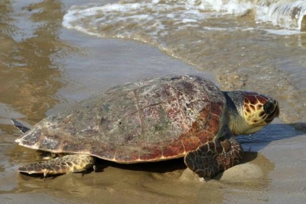Κόρινθος: Καρέτα-καρέτα νεκρή σε παραλία (video)