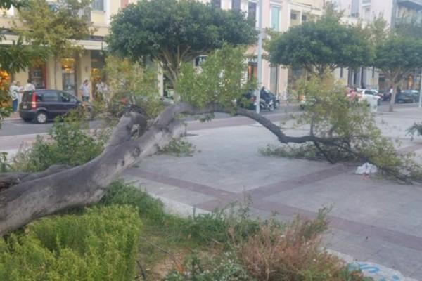 Καλαμάτα: Κατέρρευσε δέντρο στην κεντρική πλατεία!