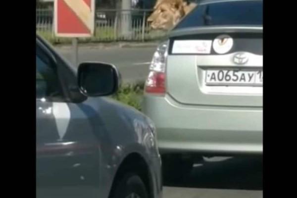 Έβαλε το... λιοντάρι του στο αμάξι και βγήκε βόλτα! (video)