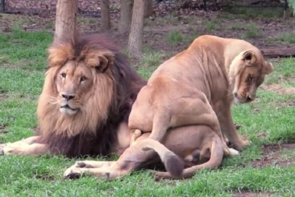Λέαινα προσπαθεί να αποπλανήσει αρσενικό λιοντάρι! (video)