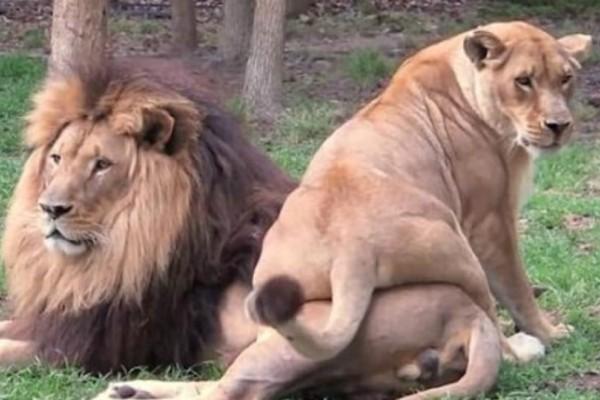 Πώς μια λέαινα προσπαθεί να ξυπνήσει τον πόθο του αρσενικού λιονταριού και... αποτυγχάνει!