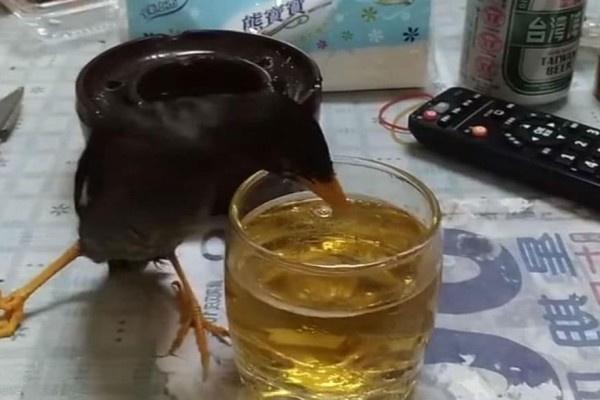 Γέλιο μέχρι δακρύων! Πτηνό πίνει μπίρα και γίνεται…ντίρλα! (video)